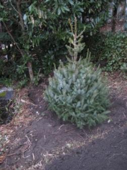 Am 24.12. noch geschmückt, jetzt schmückt er den Garten